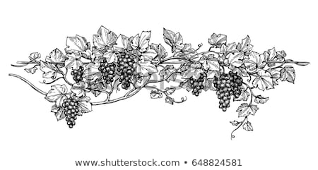 Grape vine black & white illustration Stock photo © Mr_Vector