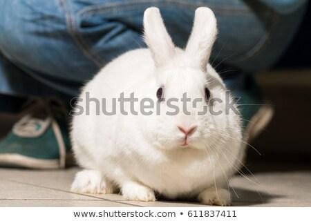 tavşan · beyaz · tavşan · hayvan · evcil · hayvan · kürk - stok fotoğraf © pixelman
