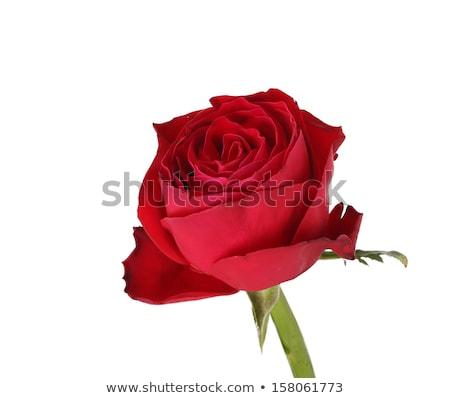 Zdjęcia stock: Mokro · czerwona · róża · korka · biały · kwiat · wody
