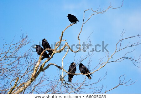 Family Group of Rooks in Tree Top Bare Branches with Blue Sky Stock photo © rekemp