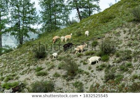 Goats grazing on a hillside Stock photo © All32