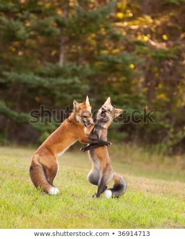Red Fox Kits Wrestling Stock photo © jeffmcgraw
