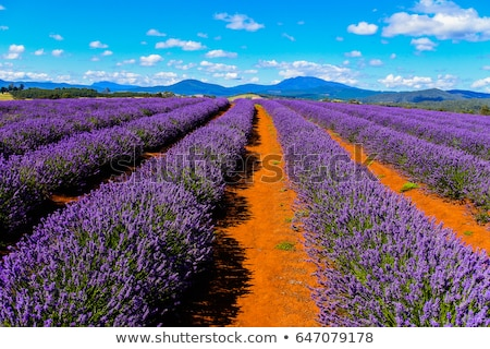 Veld lavendel tasmanië Australië groot paars Stockfoto © roboriginal