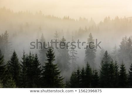 Sötét fenyőfa erdő reggel hosszú árnyék Stock fotó © Taigi