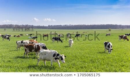 голландский корова фермы пейзаж дома Сток-фото © ivonnewierink
