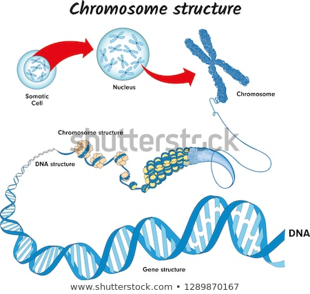 ADN chromosome illustration graphique cellule Photo stock © bluering