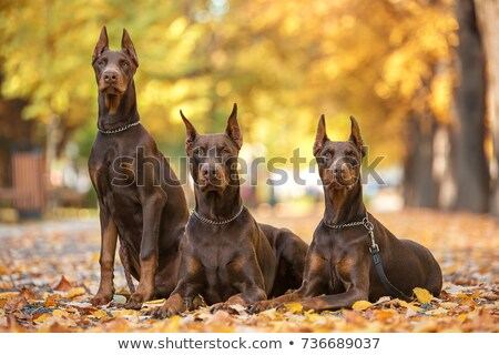 young brown dog Doberman Pinscher  Stock photo © goroshnikova