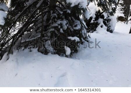 lonely pine tree crust in forest stock photo © stevanovicigor