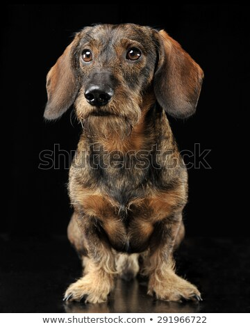 wired hair dachshund standing in dark studio Stock photo © vauvau