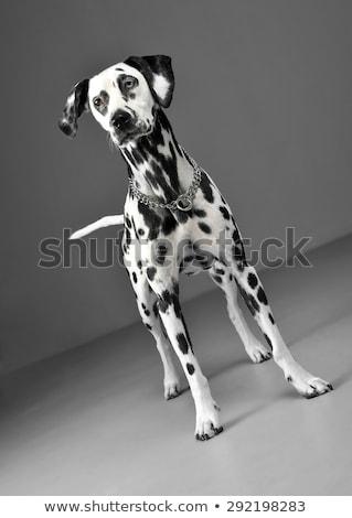 cute dalmatians standing in gray background photo studio Stock photo © vauvau