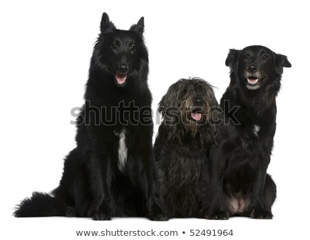studio shot of an adorable belgian shepherd and a mixed breed dog stock photo © vauvau