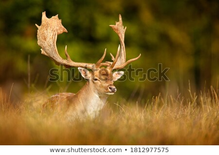 male fallow deer with big antlers Stock photo © compuinfoto