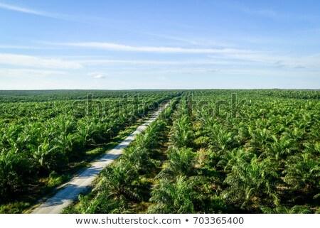 aerial view on plantation of palm trees Stock photo © Mikko