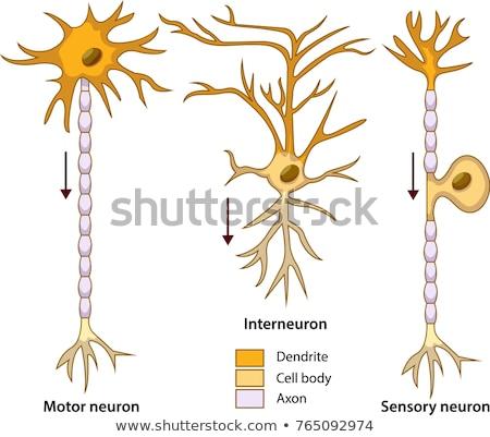 Neuron types Stock photo © Tefi