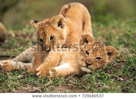 Lion cub playing in the grass. stock photo © simoneeman
