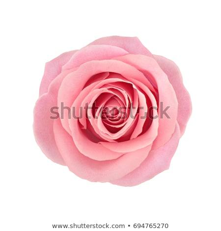 gyönyörű · narancs · rózsa · virág · izolált · fehér - stock fotó © bumerizz