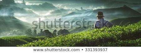 Tea ültetvény farm napfelkelte arany égbolt Stock fotó © szefei