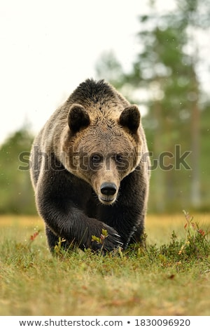 Brown bear Ursus arctos Stock photo © Hochwander