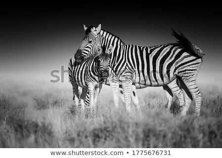 Zebra Namibya güneşli savan manzara Stok fotoğraf © prill