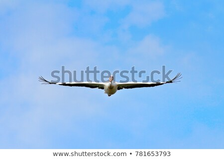 great white pelican flying towards the camera Stock photo © taviphoto