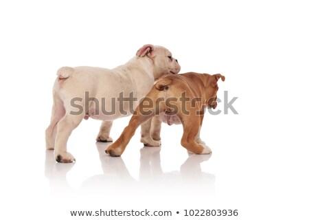 dos · curioso · Inglés · bulldog · cachorros · pie - foto stock © feedough