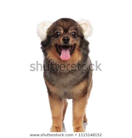 cute pomeranian dressed as a bear for hallween panting Stock photo © feedough