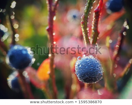 Fresh raw organic blueberries with leaf with morning dew in forest. Macro close up Stock photo © DenisMArt