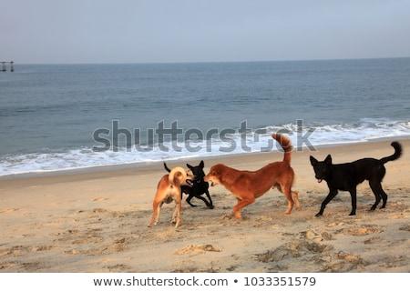 Stok fotoğraf: Kavga · köpekler · plaj · rottweiler · boksör · ağız