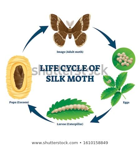 Stock photo: Moth life cycle diagram