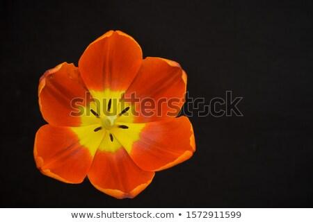 Rood tulpen geïsoleerd zwarte top Stockfoto © Illia
