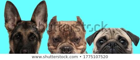 kék · amerikai · kutya · félénk · néz · ül - stock fotó © feedough