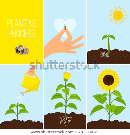 life cycle of sunflower plant stock photo © colematt