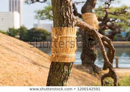 Pijnboom tuinen park natuur flora Stockfoto © dolgachov