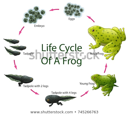 Stock foto: Frog Life Cycle Diagram