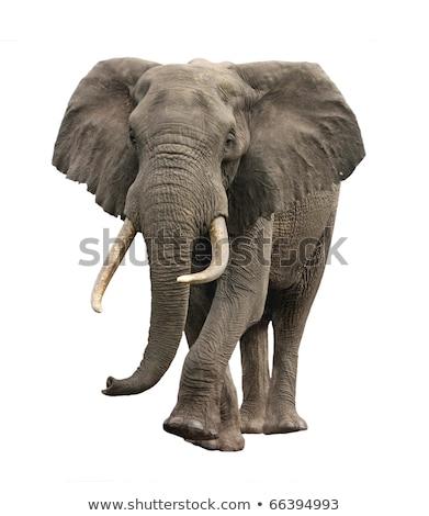 Elefante africano isolado africano arbusto elefante Foto stock © cienpies