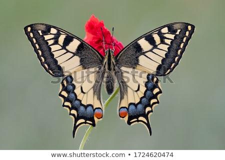 zseniális · pillangó · etetés · virágok · kert · virág - stock fotó © ansonstock