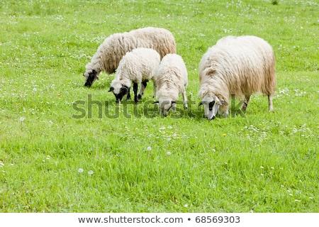sheep on meadow, Bosnia and Hercegovina Stock photo © phbcz