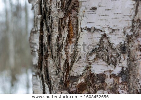 aging ugly birch Stock photo © basel101658
