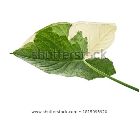 bicolor leaf background Stock photo © prill