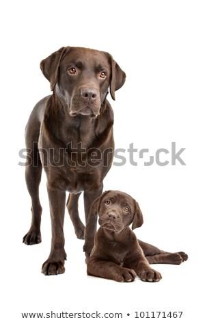 ストックフォト: チョコレート · ラブラドル · 成人 · 子犬 · 白 · 家族