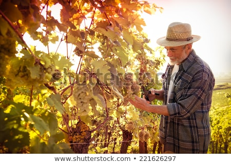 Man picking grapes during the grape harvest Stock photo © photography33