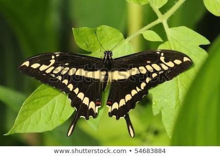 Giant Swallowtail (Papilio cresphontes) Stock photo © Beaust
