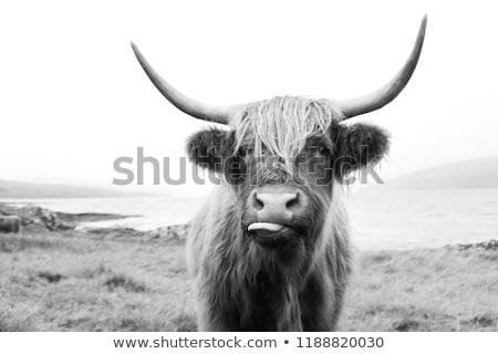 Foto stock: Vacas · campo · paisagem · verão · vaca · fazenda