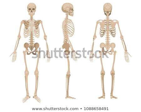 Menselijke skelet lichaam anatomie pose witte Stockfoto © Lightsource