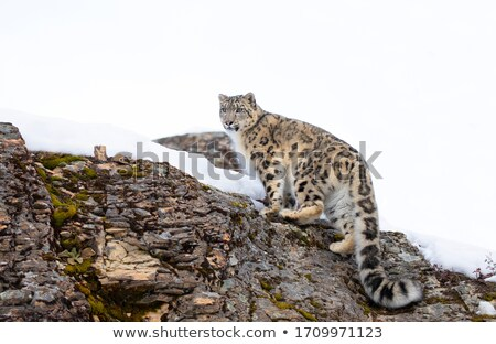 Neige Leopard captivité bruit chat Rock Photo stock © snyfer