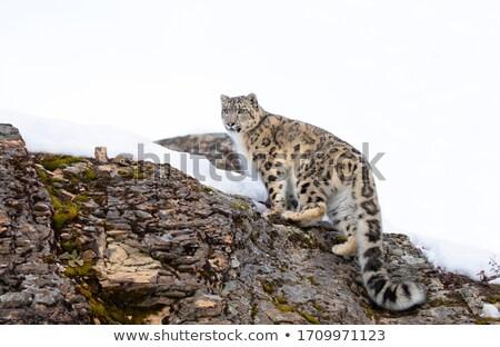 Kar leopar esaret gürültü kedi kaya Stok fotoğraf © snyfer