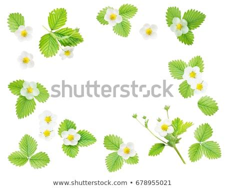 eper · virág · levelek · izolált · fehér · levél - stock fotó © Marfot