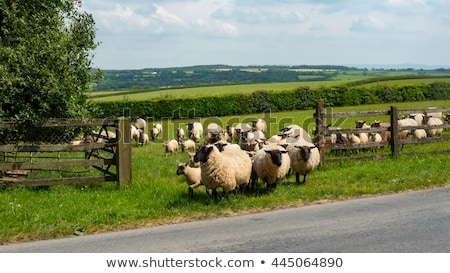 young sheep on green grass Stock photo © compuinfoto