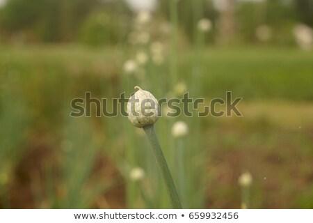 onion flower closed bud over green background Stock photo © lunamarina