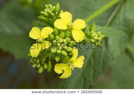Mustard flower Sinapis Aiba yellow flowers and plant, nature stock photo © lunamarina